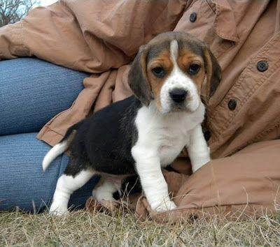 Lonesome Grove Beagles Blue Nose Pitbull Gotti Cute Beagles
