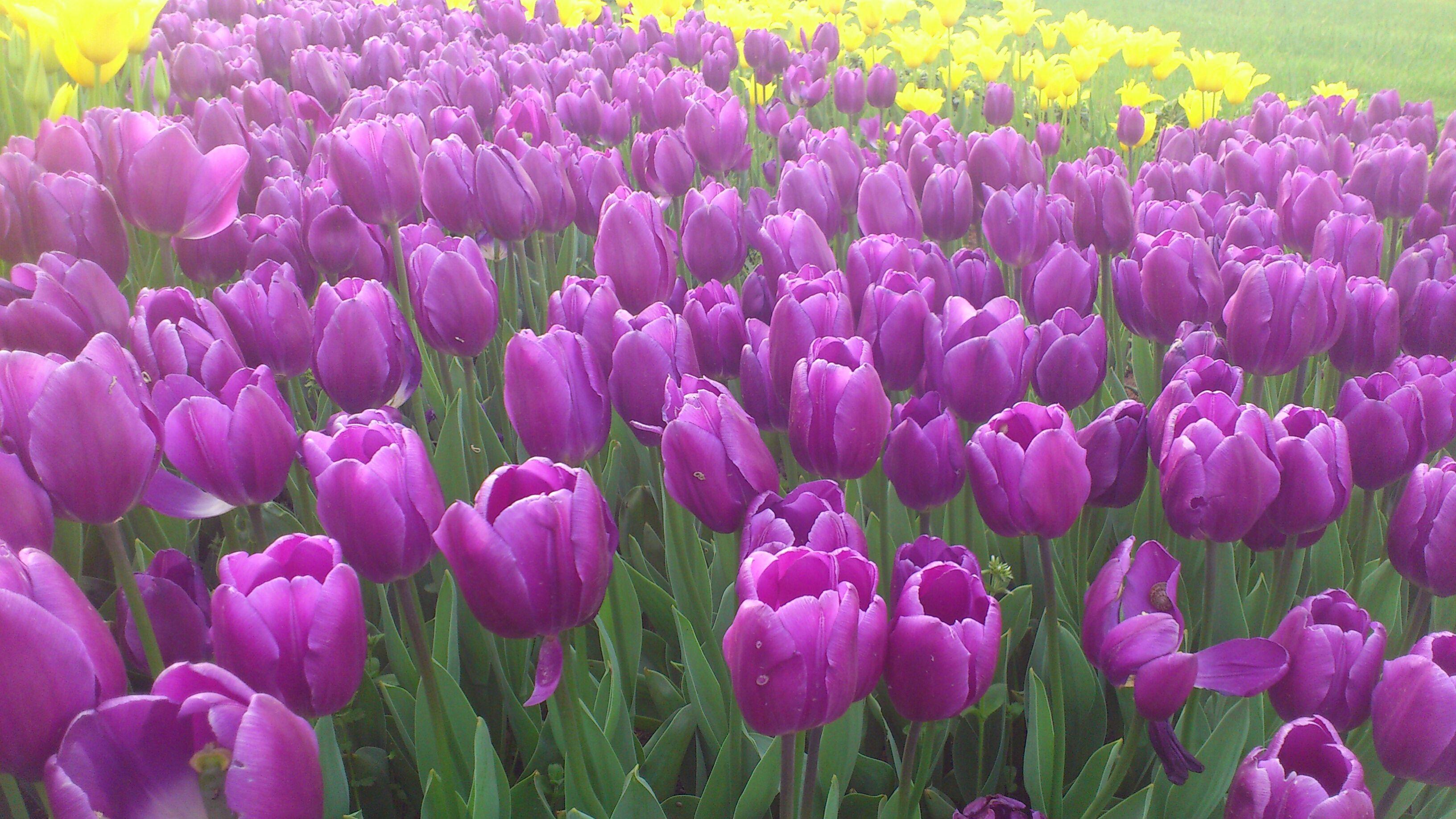 Purple lilies flowers pinterest purple lily flowers and plants purple lilies izmirmasajfo