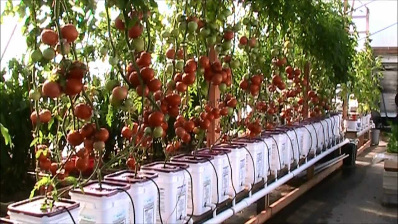 Dutch bucket hydroponic tomatoes lessons learned and a for Hydroponic garden with fish