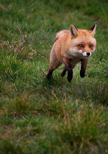 Fox sprinting | Louise Beech | Flickr