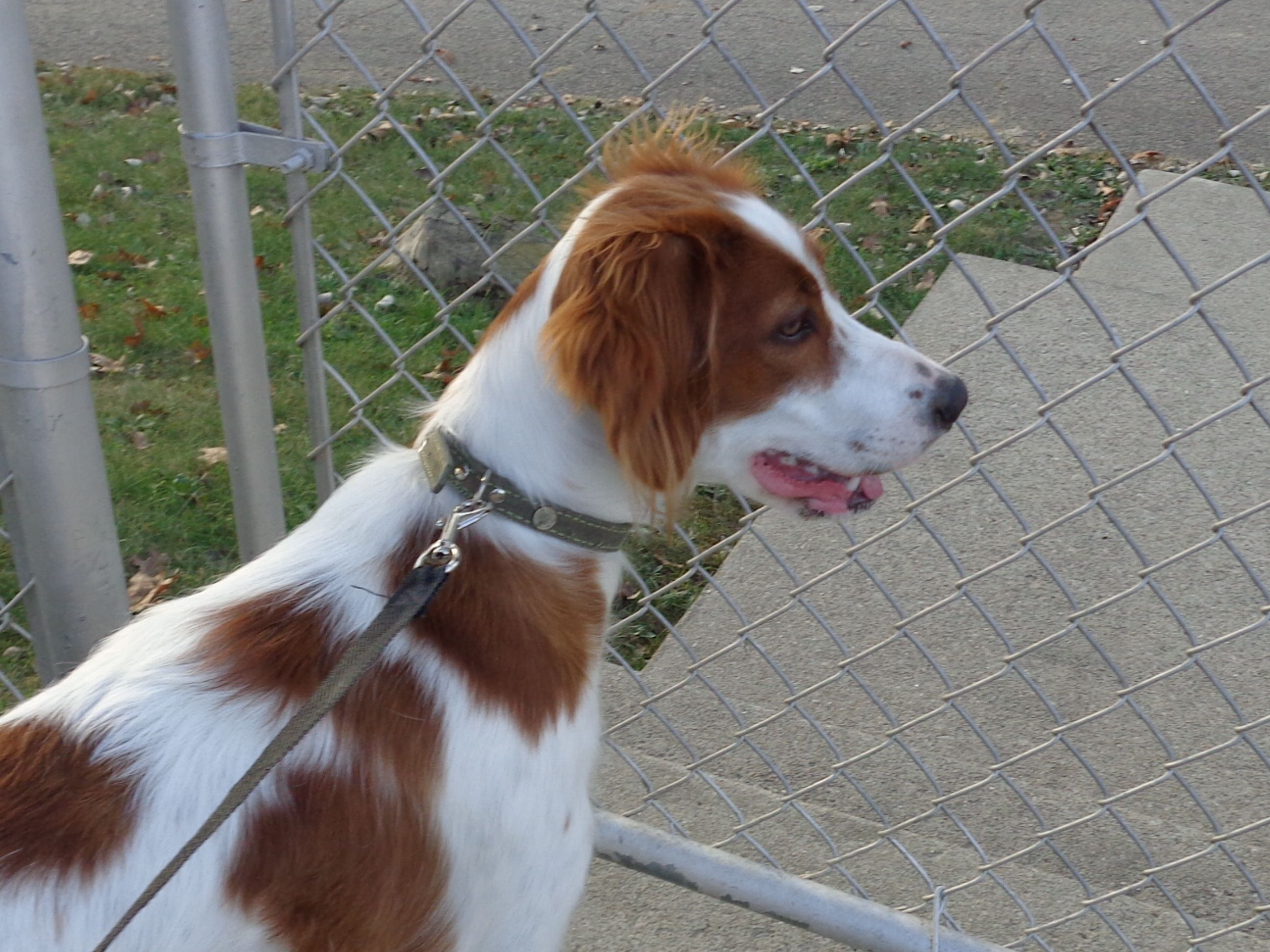 Baby DARBY   Irish red and white setters   Pinterest   Red ...
