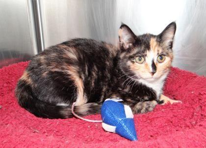 Adopt Juliet On Noahs Ark Animals Kittens Adoption