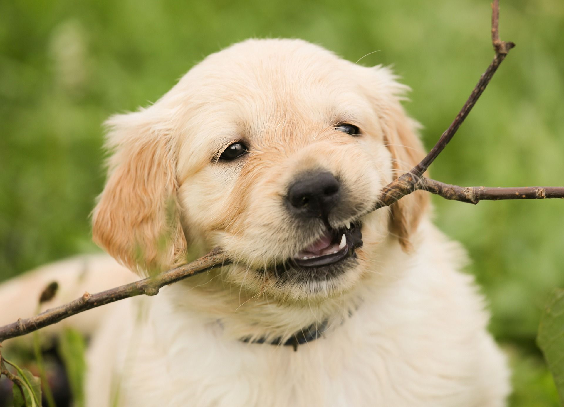 Reasons You Should Never Give A Golden Retriever A Stick