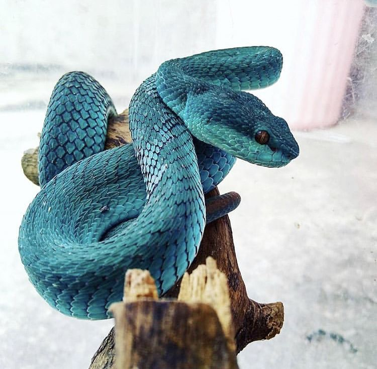 b3d4fa9cfa Blue insularis pit viper