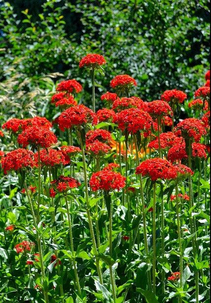 Maltese Cross Lychnis Chalcedonica Flower Seeds 30 Seeds