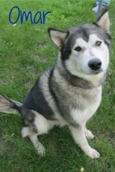 Adopt Omar On Dogs Malamute Dog Alaskan Malamute Siberian