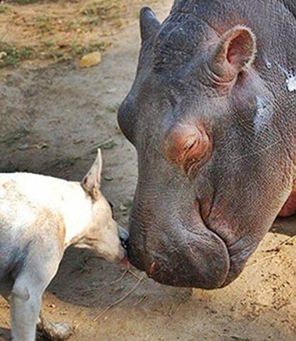 Um hipopótamo abandonado ganha dois novos amigos