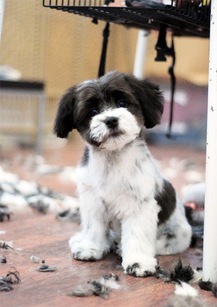 Woody Big Jpg 424 600 Maltese Poodle Maltese Shih Tzu Puppy