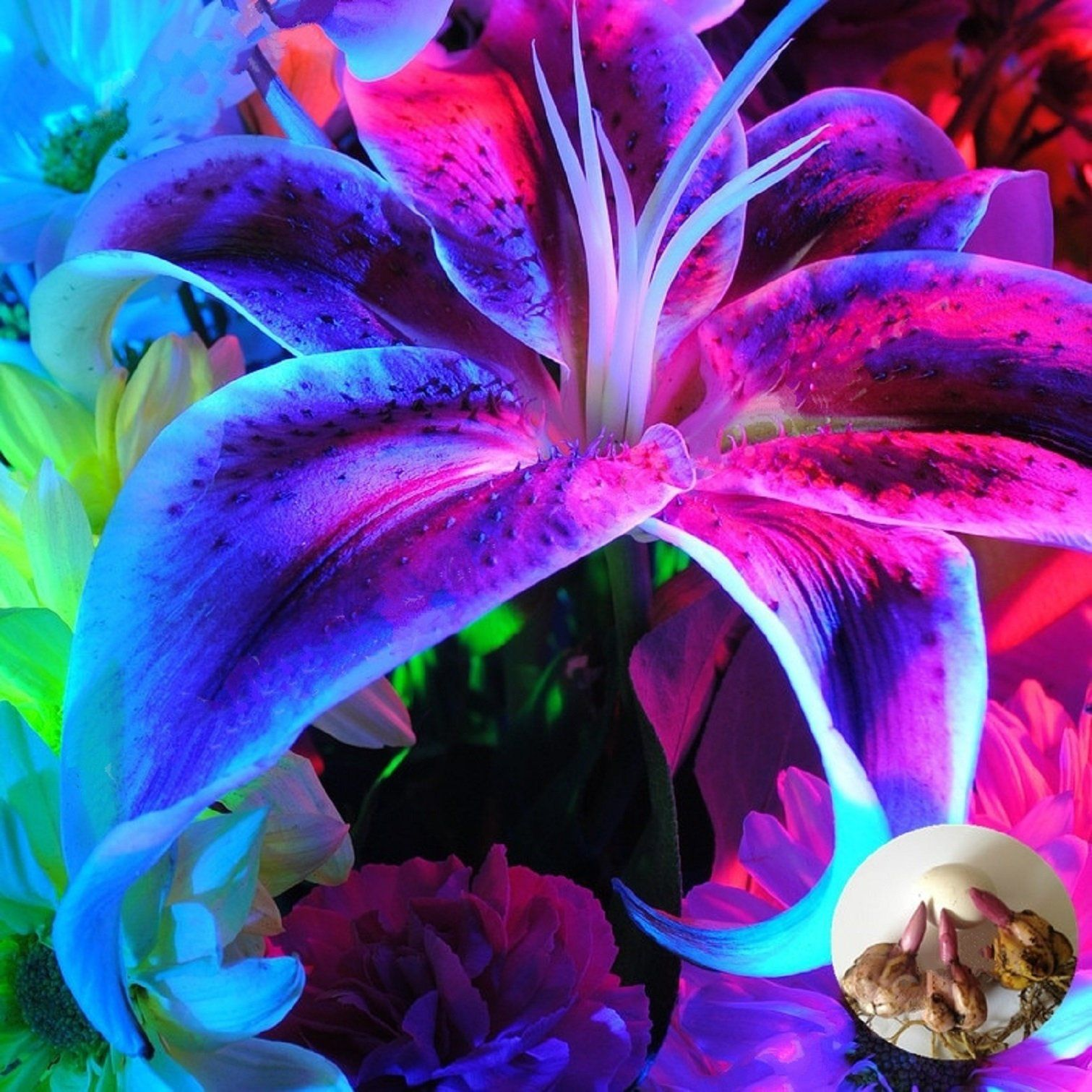 Garland Flame Lilium brownii 40 Pcs Seeds Lily Flower Buy 2 Get 1 Extra Free