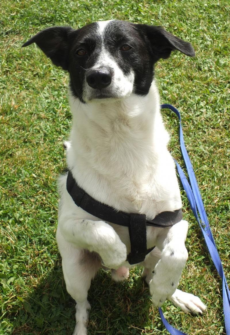 Meet Cowboy a Petfinder adoptable Border Collie Dog