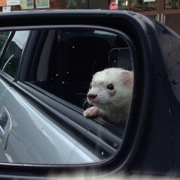 .@mobi_y | #ferret #フェレット #instaferret #ferretgram #ferrets #pets #tags #cute #an... | Webstagram - the best Instagram viewer