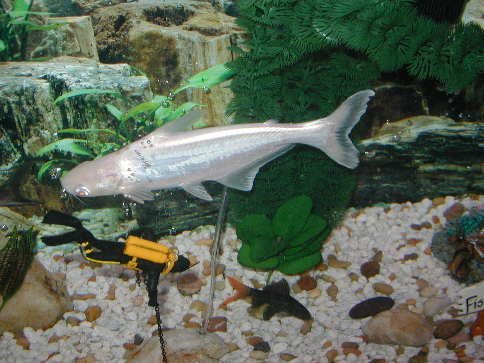 2007 aquarium fish photo ace contest 1 albino catfish for 405 tropical fish