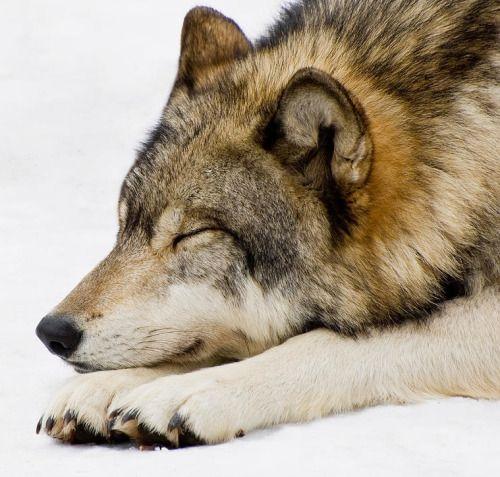 Sleeping Wolf by Gary Slawsky