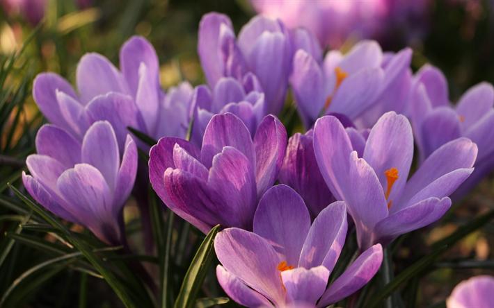 Fiori Di Primavera.Scarica Sfondi Crochi Viola Fiori Di Primavera Primavera