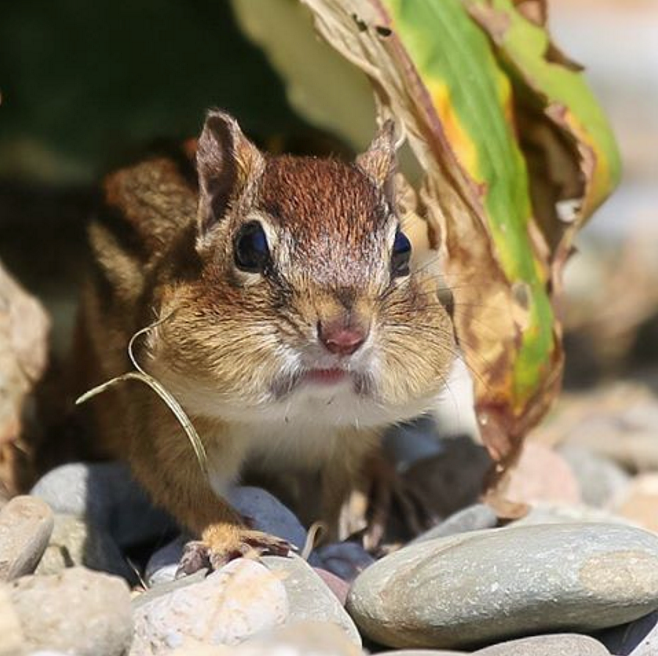 NJ Chipmunk Prepper, w/a mouthful of sunflower seeds. By