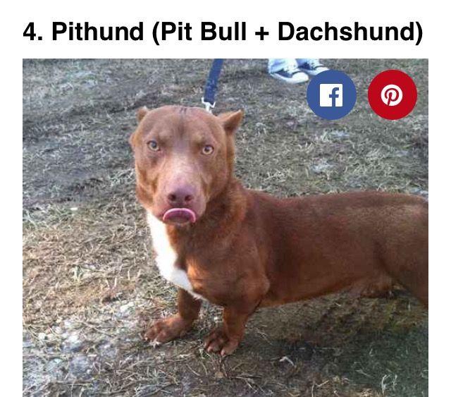 Pin By Candice Schmidt On Funny Shit Dachshund Mix Dachshund Cross Pitbulls