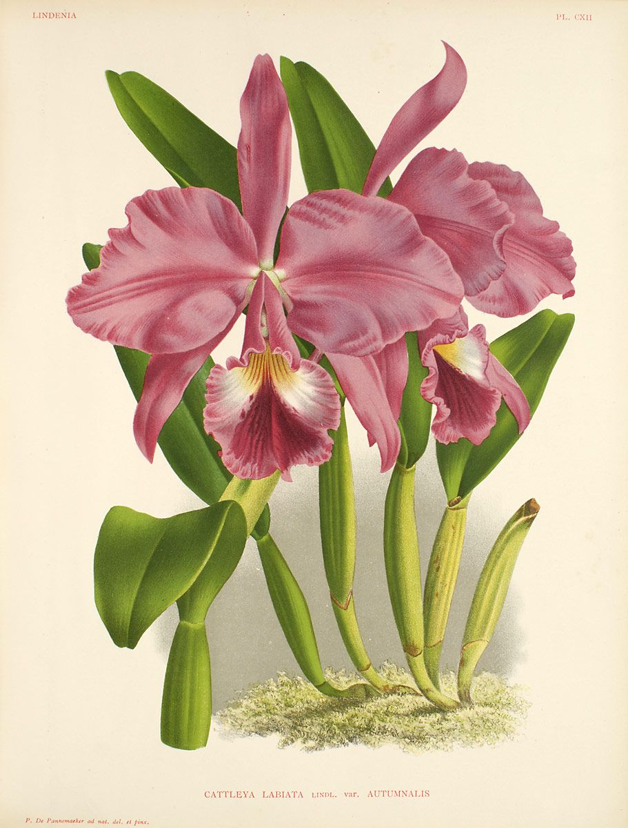 The Orchid Genus Cattleya Consists Of Around 42 Species Of Orchids The Flowers Are Popular In Hybridizing And Botanical Prints Flower Illustration Flower Art