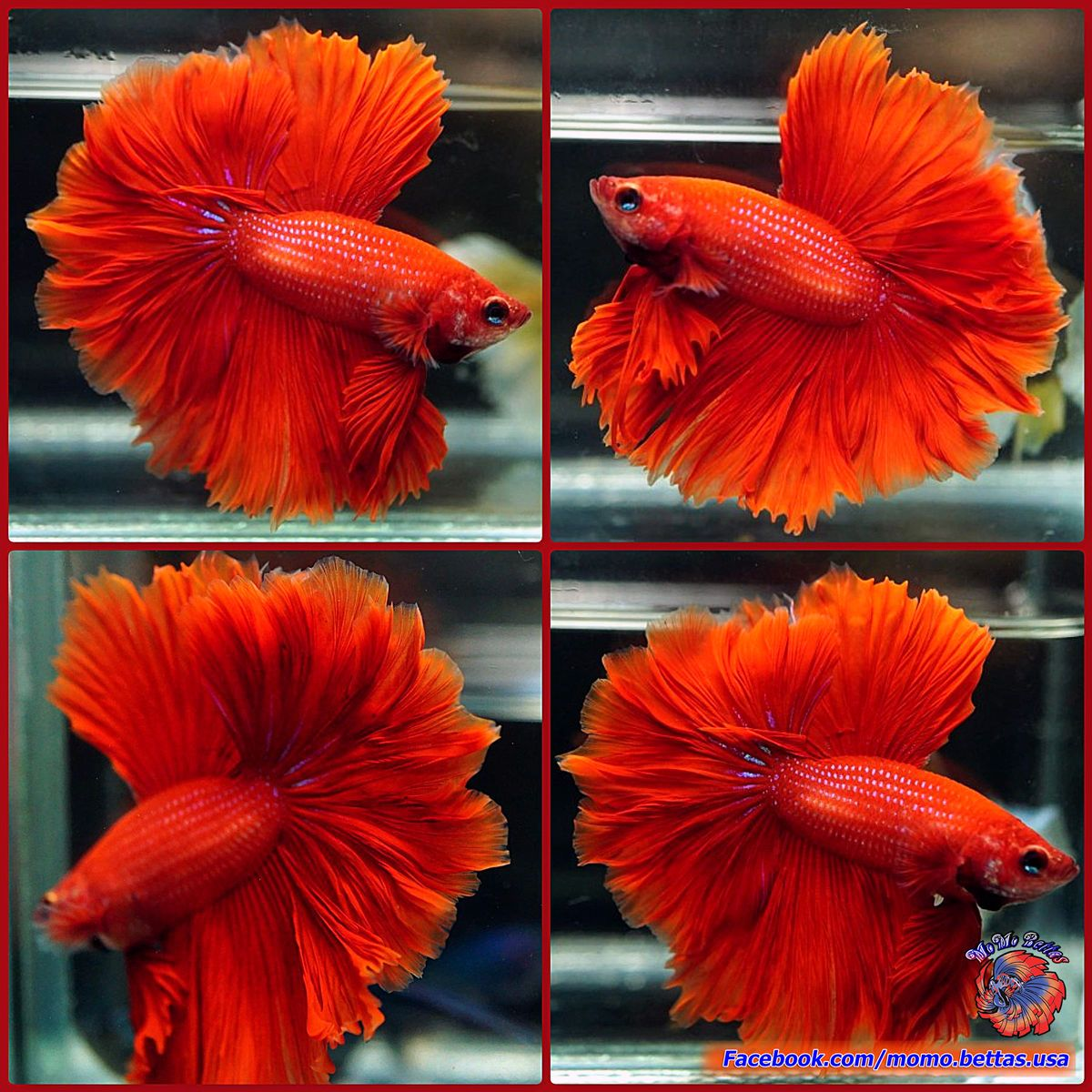 Live Betta Fish Male Solid Color Super Red Rosetail Halfmoon HM #882 ...