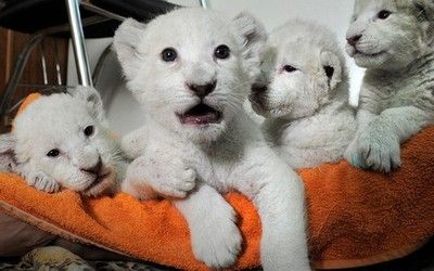 White lion cubs are seen during feeding time in the Yalta Zoo in Ukraine. Five white lion cubs were born in the Crimea two weeks ago, three of them in a safari park and two in the Yalta Zoo. They are being brought up together at the Yalta Zoo.Picture: Andrew Lubimov/AP