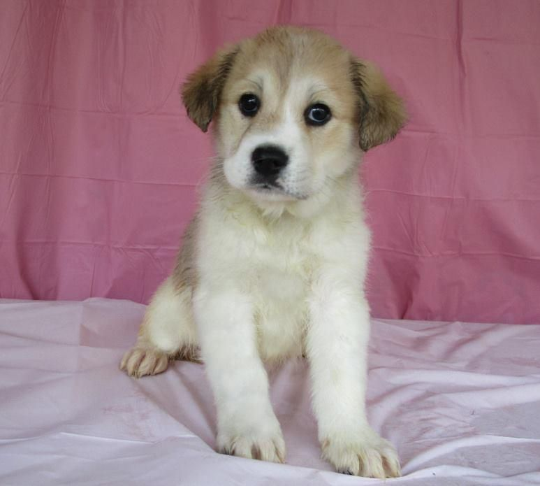 Adopt Blossom On Siberian Husky Dog German Shepherd Dogs Dogs