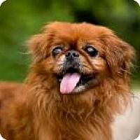 Pictures Of Ronnie A Pekingese For Adoption In Greensboro Nc Who Needs A Loving Home Pekingese Pekingese Dogs Pets