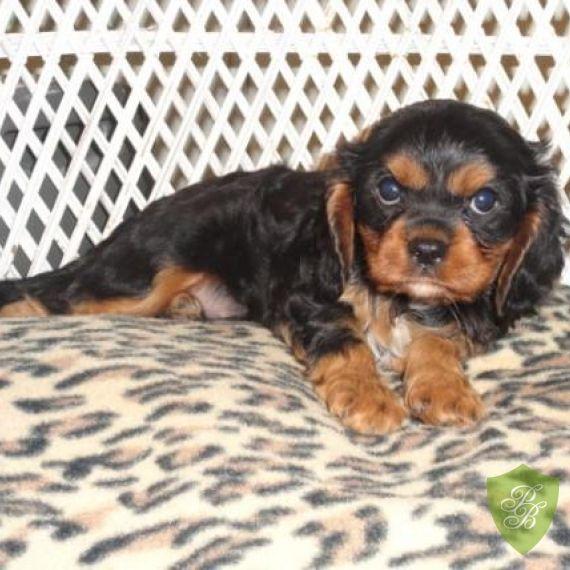 Puppies For Sale North Carolina Cavalier Breeders Spaniel