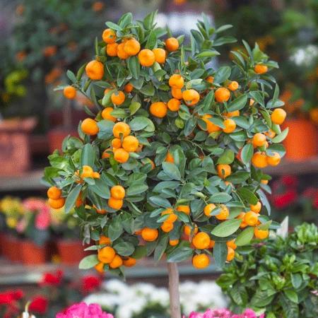 Gold Nugget Mandarin Tree Mandarin Tree Tangerine Tree Fast Growing Trees