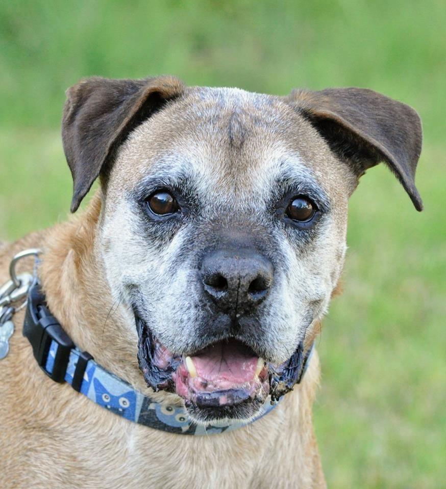 Boxer dog for Adoption in Alameda, CA. ADN631500 on