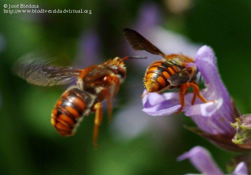 Himenoptera / Megachilidae / Anthidiini / Rhodanthidium sp.