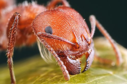 harvester ant close up