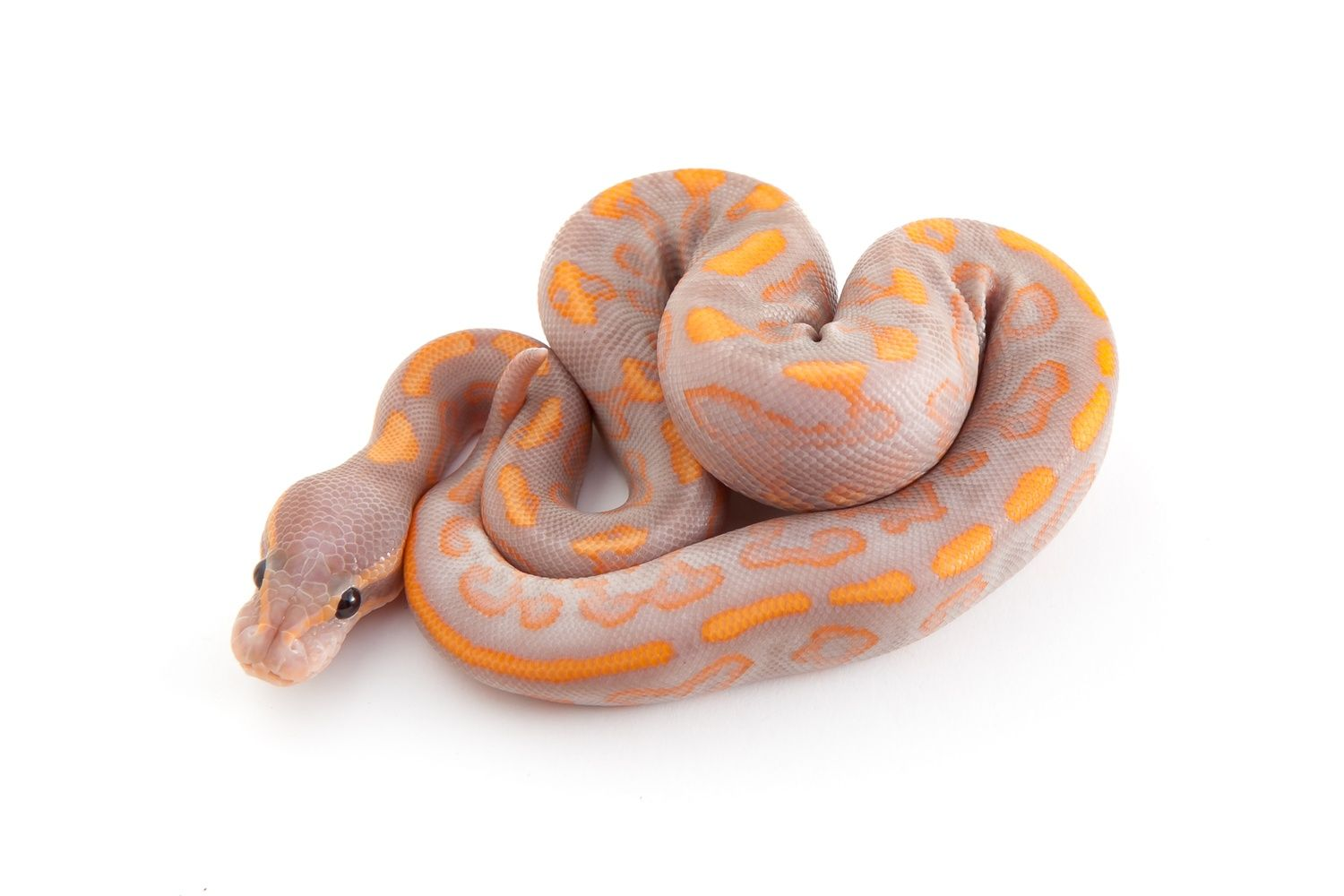 Banana Black Pastel Yellowbelly Ball Python By Outback Reptiles