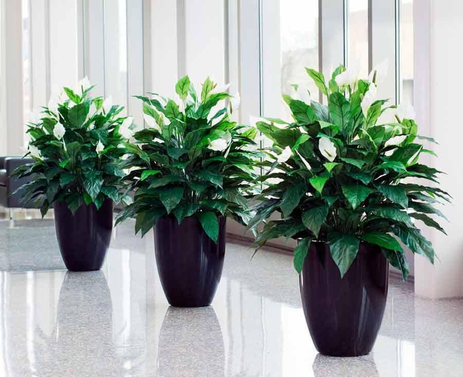 бы, комнатные растения тенелюбивые с картинками спортивного