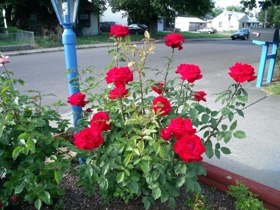 Mr Lincoln Rose Plant My Rose Bush Lincoln Rose Plant Planting Roses Mr Lincoln Rose Unique House Design