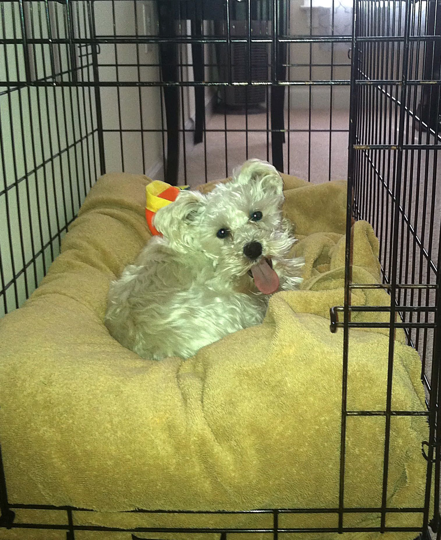Schnoodle Love Looks Like Me Sweet Duke Rip Poodle Rescue