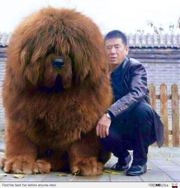 FeedMeLols.com - I think this Tibetan Mastiff is the most ...