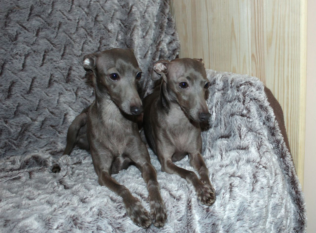 Sunnymoon Boys Ig Stud Dogs Italian Greyhound Stud Dogs Photo