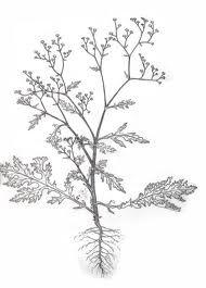 Artemisia Vulgaris Drawing Google Search Drawings