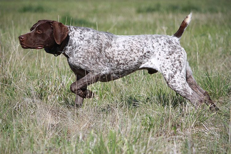 Pin On Bird Dogs