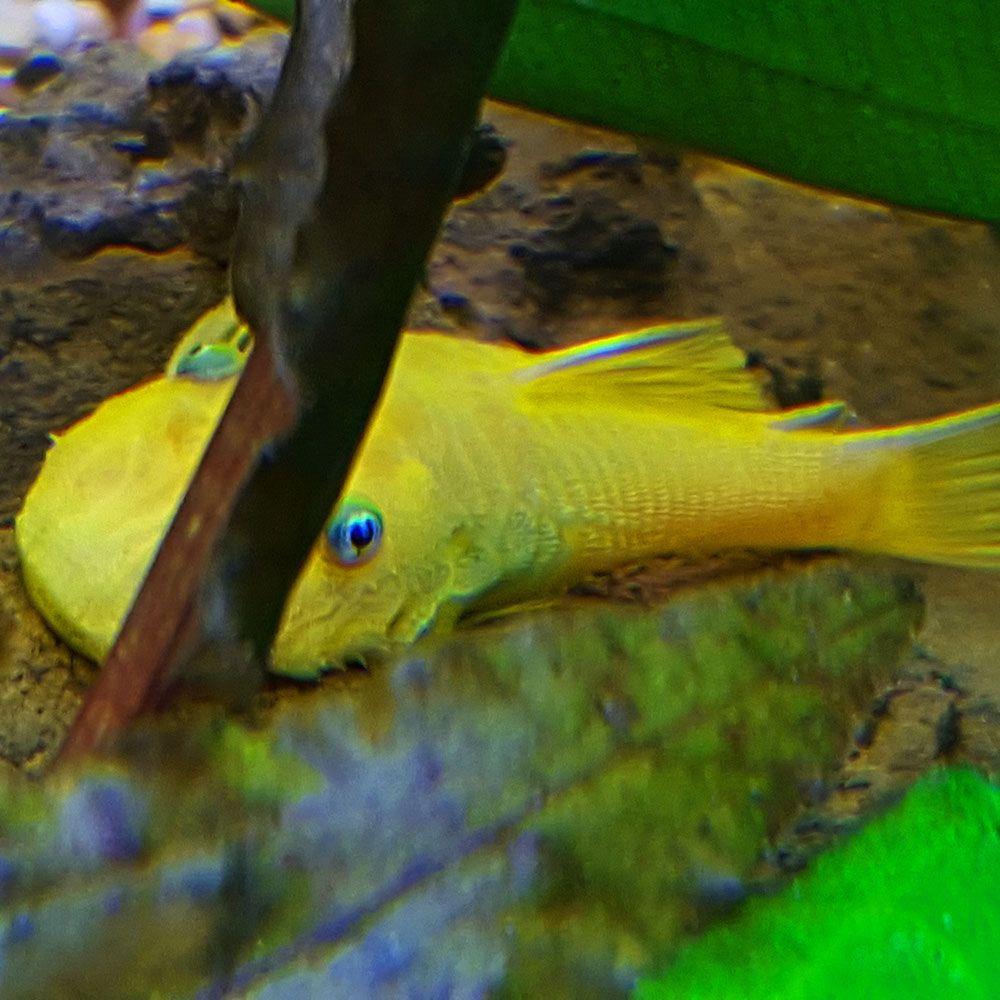 Midget suckermouth catfish dick amazing