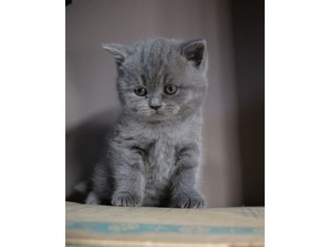 Brilliant Cute Scottish Fold Kitten For Sale Kittens Scottish