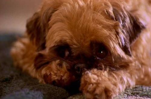 Brussels Griffon Dog From The Movie As Good As It Gets My