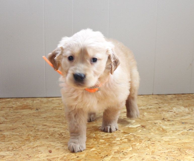 Tracy Akc Golden Retriever Female Pup For Sale Near Grabill