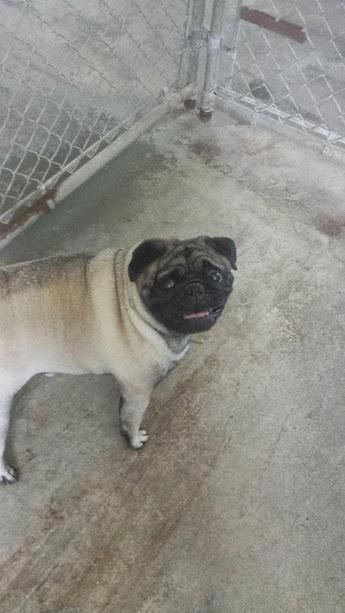 Adopt Max On Dogs Pugs Humane Society