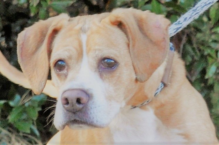 Bogle dog for Adoption in Canton, CT. ADN786268 on