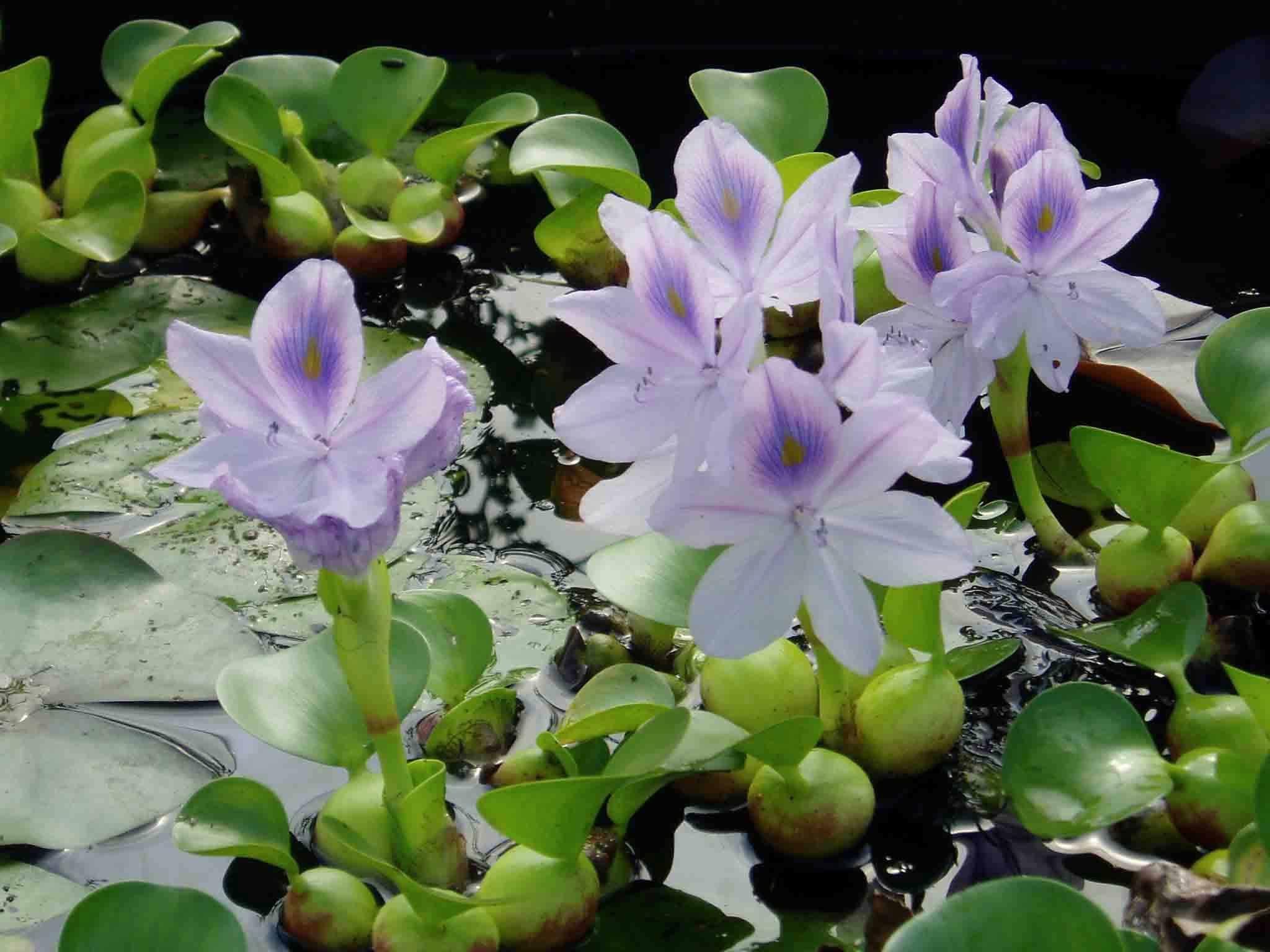 plantes pour bassins ext rieurs plantes aquatiques. Black Bedroom Furniture Sets. Home Design Ideas