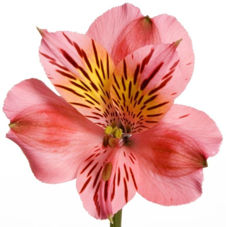 Bodega Dark Pink Alstroemeria Alstroemeria Flowers Blossom