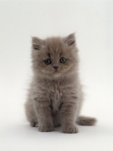 See More On Litter Size Of Persian Cats Baby Cats Kittens Cutest