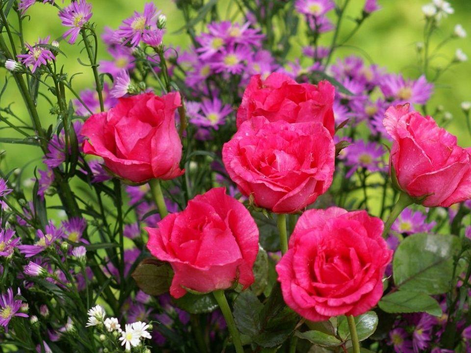 Deep Pink Roses Pink Flowers Wallpaper Flowers
