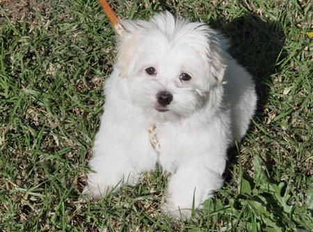 Marshmallow The Maltese Maltese Dogs Maltese Puppy Maltese