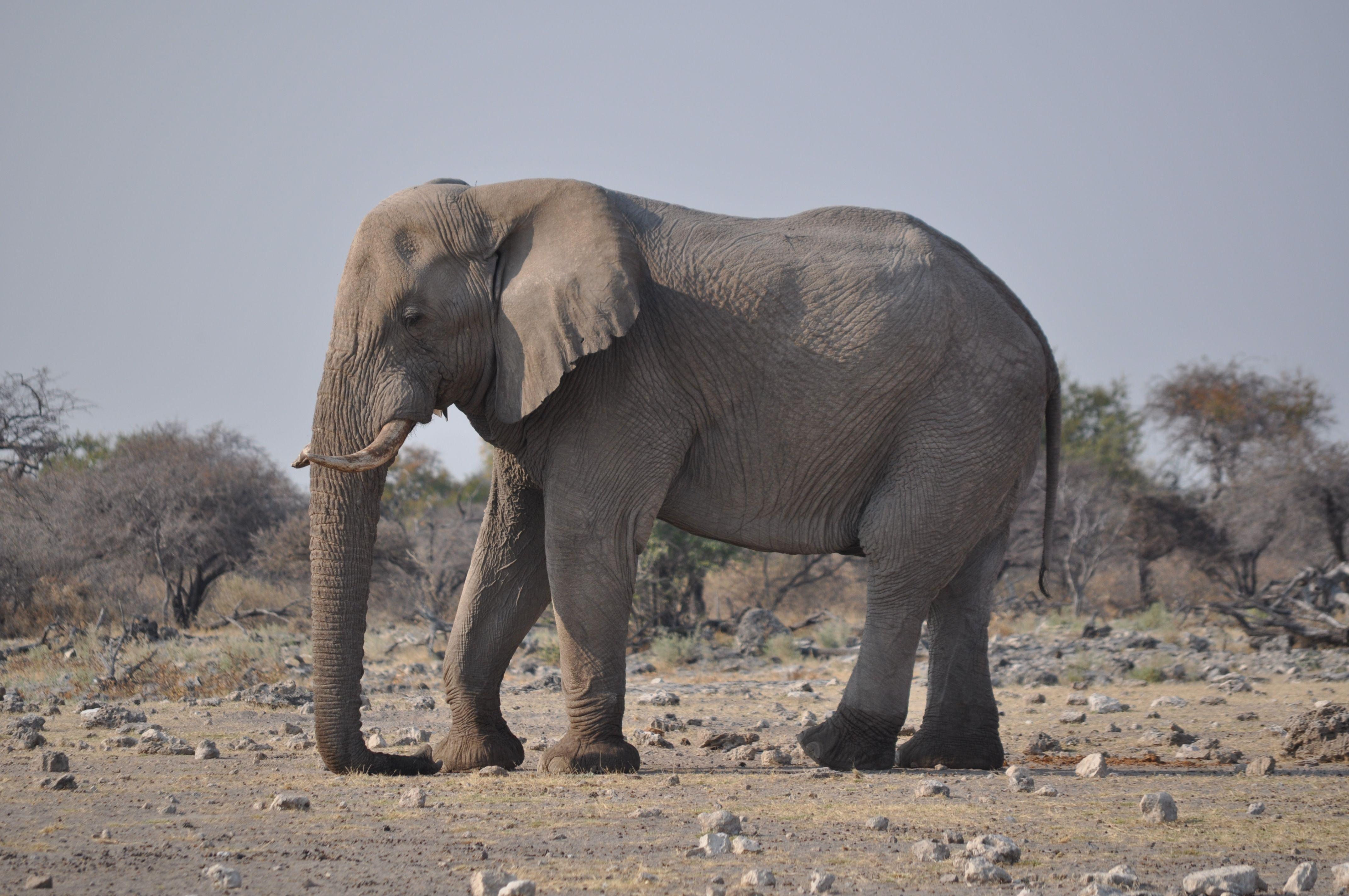 Картинка слон профиль